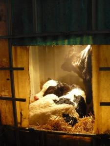 Tricia Adams pictures one of the heated boxes for newborn calves at Hoffman Farms