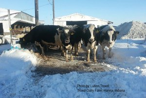 """The cows were """"good sports"""" but after three days, the extreme cold wore think on man and beast."""