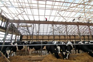 Cows were amazingly calm at Ar-Joy Farms as their new roof went up one week after the old one collapsed under the weight of extraordinary snow and ice pack. Owner Duane Hershey (red shirt) stepped out of his comfort zone to help the building crews who were pushed to get as much done as possible Thursday before the rain and wind on Friday.