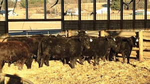 "Photo caption:   40 bred heifers were donated, commingled, preg-checked, and readied for travel by the Rockingham Feeder Cattle Association. They left Virginia last Thursday, Feb. 6 from Rockingham Livestock for the first leg of their journey. With the freezing temperatures and sub-zero windchills in the East this winter, they'll be ready for western living. The Heifers for South Dakota Project strives to make a difference delivering ""Hope with the hide on"" and operating by the tenets of Galations 6:10. Photo by Jessica Koontz"