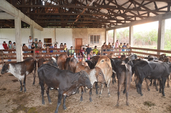 boliviaour cows in the barnweb