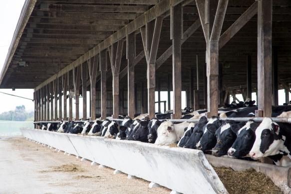 CattleHandling3837